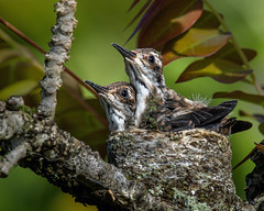 Hummer chicks in the nest (S.J. Trinidad & Tobago Nature) Tags: nature babies nest trinidad chicks hummingbirds hummers blackthroatedmango