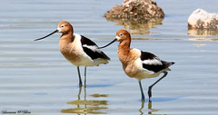 Twin Beaks (Shannon Rose O'Shea) Tags: nature water birds canon outdoors pond rocks flickr wildlife nevada feathers henderson waterfowl americanavocet beaks skinnylegs avocets canon100400mm14556lis t6i shannonroseoshea wwwflickrcomphotosshannonroseoshea thecityofhendersonbirdviewingpreserve canonrebelt6i canoneost6i canont6i eost6i canoneosrebelt6i shannonosheawildlifephotography rebelt6i shannonoshea eosrebelt6i