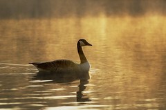 Canada Goose in the Mist (2016-05-01) (snjscuba) Tags: uk morning england mist lake bird sunrise dawn northamptonshire goose steam fowl sunup daybreak ringstead kinewell