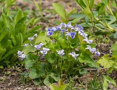 Violet Plant (vern Ri) Tags: spring violet