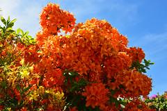 9194 Orangscher Rhododendron.  Orange Rhododendron. (Fotomouse) Tags: nature garden bush flickr outdoor natur blossoms rhododendron garten strauch busch draussen blten strucher fotomouse orangscherrhododendron