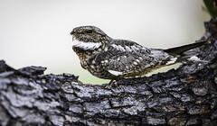 Lesser Nighthawk (PietervH) Tags: lessernighthawk chordeilesacutipennis