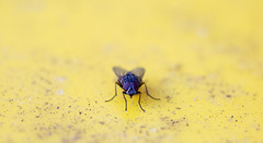 fly on yellow (keith midson) Tags: macro yellow canon fly 100mm fd