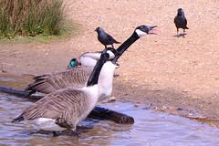 DSC_2463 (Vlad Proklov) Tags: birds richmond