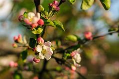 Budding apple tree (Grzesiek.) Tags: tree spring bokeh bud appletree pczek wiosna drzewo wielkopolska jabo