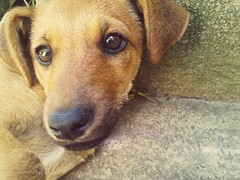 Dara, the dog (werkmania.hu) Tags: mobile puppy nokia dara c6 c600