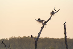 Cormorants nest (arturry) Tags: trees sunset sky tree nature water birds sunrise nest cormorant deadtrees cormorantsnest nestsmcormorants