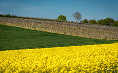 Spring in the Pfalz (Bommer60) Tags: blue trees sky plants plant green field yellow germany de landscape outside deutschland vines wine outdoor bluesky gelb grn frhling lanschaft b38 rhinelandpfalz rapps billigheim ingenheim billigheimingenheim rappsfield