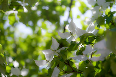 5 (Colorful-wind) Tags: wood blue light shadow white plant flower color tree green colors japan may fujifilm dogwood fukuoka lightandshadow 2016 kitakyusyu xti
