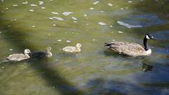 Family Outing DSL7927 (iloleo) Tags: toronto nature birds swim geese spring wildlife gosling nikond7000 lowerdonparklands