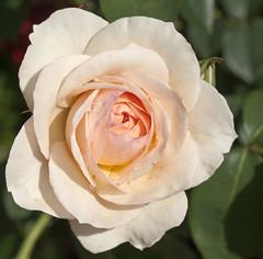 Perdita with  raindrops (Shotaku) Tags: pink flowers roses plants plant flower macro rose closeup garden rosa blush davidaustin