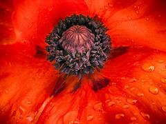 Scarlet Woman (gabi-h) Tags: flowers red black rain scarlet droplets blossoms stamens poppy bloom oriental princeedwardcounty pistils gabih
