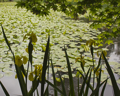 Yellow Flags at Queen Elizabeth Park Pond (Rod Raglin) Tags: park flowers reflection water spring blossoms ducks ducklings waterlilies mallard wildrose rushes queenelizabethparkpond yellowflagreeds studyingreens