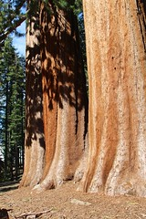 The Three Graces: In-line Sequoias (daveynin) Tags: forest nps bark sequoia