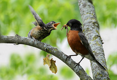 Say please... (Doris Burfind) Tags: tree male bird nature robin feeding outdoor worm fledgling