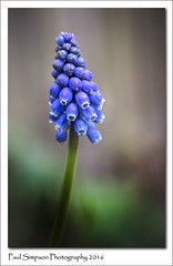 Muscarti (Paul Simpson Photography) Tags: flowers plants flower nature spring flowering springflowers springflower blueflowers photosof imageof photoof imagesof naturealworld sonya77 paulsimpsonphotography april2016 muscarti whatdoesmuscartilooklike
