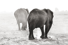 Shadows in the light, Chobe National Park, Botswana (Poulomee Basu) Tags: africa wild blackandwhite beauty nikon outdoor wildlife adventure safari botswana chobe wildlifephotographer blackandwhitephotography animalportraits chobenationalpark wildlifephotography nikonlovers nikond90 animalsinblackandwhite superafrica safarilove