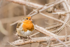 Very tuneful 710_8717.jpg (Mobile Lynn) Tags: wild england nature robin birds unitedkingdom gb hurst