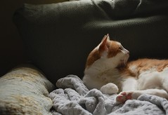 Otis (rootcrop54) Tags: orange male cat ginger chat otis tabby dilute kitteh masked  macska gatto katzen kot koka kedi katt kissa bicolor kttur maka kucing    kat  maek kais pisic gorbe