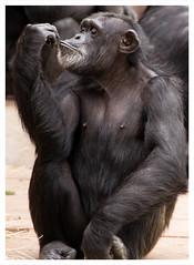 Magnifique (GadgetHead) Tags: cheshire chesterzoo zoo ape primate chimpanzee chimp nikon nikond3100 d3100 dslr northwest northwestengland north england uk unitedkingdom gb 2016