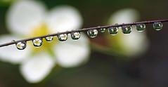 raindrop reflections (Delena Jane) Tags: canada flower macro newfoundland reflections strawberry ngc raindrops pentaxart delenajane