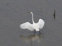 Great egret () (Greg Peterson in Japan) Tags: birds japan wildlife rivers shiga jpn moriyama shigaprefecture egretsandherons yasugawa rittocity