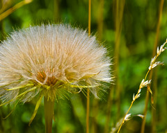 Weeds to Wishes (jonnievt) Tags: weeds wishes nature golden