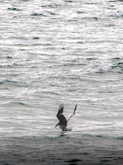 Pelican (michaelbbateman) Tags: california bird us unitedstates wildlife pelican manhattanbeach