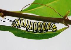 Monarch Butterfly Caterpillar (Susan Roehl) Tags: backyard florida usa monarchbutterfly caterpillar fivemajorgrowthphases milkweedplant sueroehl panasonic dmcgx1 macro insect stinkhorns pupalstage ngc npc
