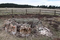 Excavated Stump (RPahre) Tags: tree fence fossil colorado stump redwood geology petrified florissant florissantfossilbeds petrifiedtree florissantfossilbedsnationalmonument