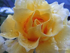 Colombian rose ( Graa Vargas ) Tags: graavargas 2016graavargasallrightsreserved rose rosa flower colombia bogot yellow 22206290816