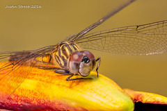 Dragonfly Stack_ (strjustin) Tags: macro beautiful canon dragonfly insects bugs 60mm compositephotography focusstacking 60d canon60d