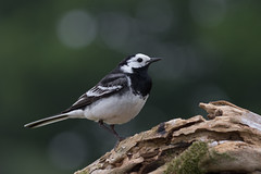 Pied wagtail (ToriAndrewsPhotography) Tags: pied wagtail photography andrews tori