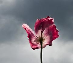 Mohnblute (Werraman) Tags: poppies meisner mohnblume mohnblte germerode