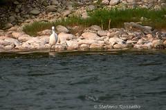_S877508798 (Rosshox) Tags: naturalphotography natura wildlife action animals animali fujifilm fujifilmxs1 volatili