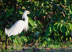 Snowy Egret (dbking2162) Tags: bird beach nature water birds animal florida fort wildlife wading myers