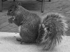 Thanks for the peanut 177/365 (Eric.Ray) Tags: white black animals digital canon project photo squirrel 365