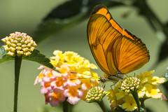 Julia Butterfly (PriscillaBurcher) Tags: flambeau nymphalidae dryasiulia juliabutterfly juliaheliconian theflame mariposasdecolombia butterfliesfromcolombia mariposaflama l1030486