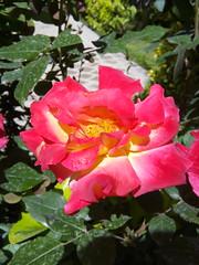 rose (Sasha India) Tags: iran irn esfahan isfahan monarjonban                          sallananminare  rose
