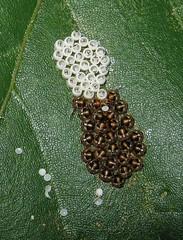 Shieldbug Brood (Sea Moon) Tags: macro tree insect leaf babies bugs cups eggs stinkbug ova hatched capsules truebug