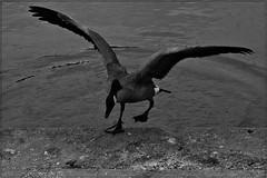 4 - Rambouillet, Parc du Chteau, La marche est haute... pour l'oie bernache (melina1965) Tags: aot august 2016 ledefrance yvelines nikon d80 noiretblanc blackandwhite bw rambouillet eau water oiseau oiseaux bird birds oie oies goose geese