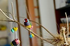 DSC_9216 (Jenny Yang) Tags: 小呆 小蕃茄 胡錦鳥 寵物鳥 lady gouldian finch pet bird
