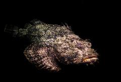 Scorpionfish (Longleaf.Photography) Tags: scorpionfish scorpion fish nc aquarium fortfisher beach sea creature wildlife poison venom spines stonefish