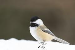 Little bird (Seventh day photography.ca) Tags: winter snow ontario canada bird wildlife chickadee wildanimal blackcappedchickadee 2015 algonquinprovincialpark