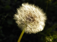 3-13-15 375 (LeeLee's pictures) Tags: 31315 mississippiriver woods nature dandelions yellow flower wildflower weeds makeawish white flyaway