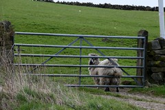 sheep scratching its bottom on the farm gate (haywardk49) Tags: water abbey shop wall garden point amazing gate place riverside farm royal visit an medieval glorious gift excellent land mm fountains setting tamron picturesque remains vc 18thcentury landscaped focal studley 18270 b008 pzd