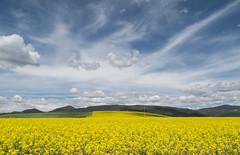Colza (Patataasada) Tags: sky españa primavera field yellow clouds spring spain huesca abril amarillo cielo nubes april campo fields jaca pirineo cultivo abay colza aragón pirineoaragonés jacetania a3b campodecolza