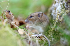Cute wood mouse sitting on hind legs (Alexandra Lande) Tags: wood uk wild summer england brown macro cute green nature field grass animal horizontal closeup fauna forest landscape mouse mammal one rodent log eyes furry rat europe long european sitting quiet natural little background wildlife small watching ears eat enjoy hungry habitat forestfloor alert tailed apodemus sylvaticus