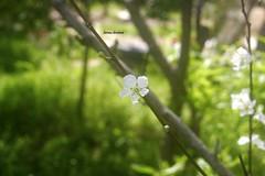 #Peach_Flower  #Flower  #flowers  #Tree  #Trees  #Green  #Spring  #Garden  #Nature  #Nablus  #Palestine (fatima ) Tags: flowers trees flower tree green nature garden spring palestine nablus peachflower
