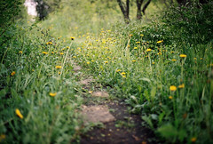 Dandelion trail (Andrey Timofeev) Tags: flowers light color film nature field grass leaves analog 35mm canon garden photography 50mm spring flora focus mood colours village view herbs kodak russia ae1 bokeh space 14 grain atmosphere flowerbed trail 200 program forms plus analogue manual expired tones dandelions fd            smalldof    colornegativefilm smalldepthoffield   35           may2014 developbefore122008
